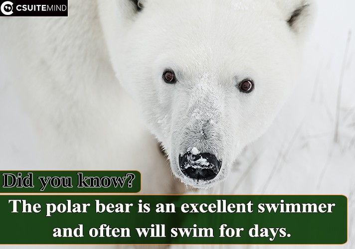 The polar bear is an excellent swimmer and often will swim for days.