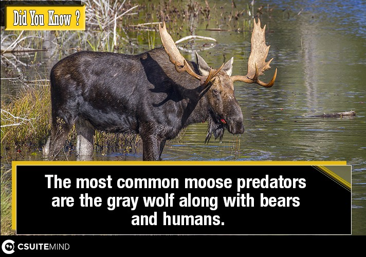 the-most-common-moose-predators-are-the-gray-wolf-along-with-bears-and-humans