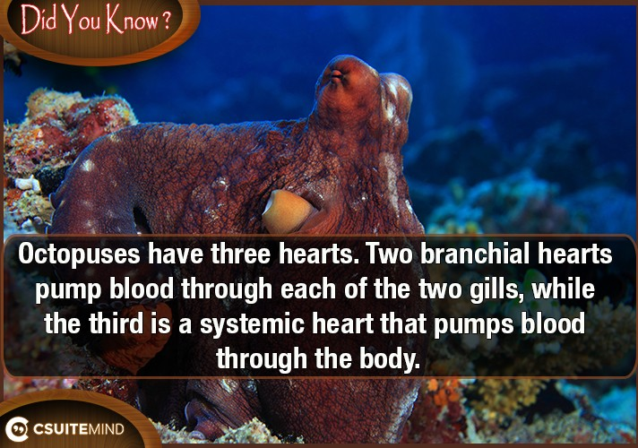 octopuses-have-three-hearts-two-branchial-hearts-pump-blood-through-each-of-the-two-gills-while-the-third-is-a-systemic-heart-that-pumps-blood-through-the-body