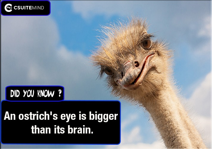 an-ostrichs-eye-is-bigger-than-its-brain