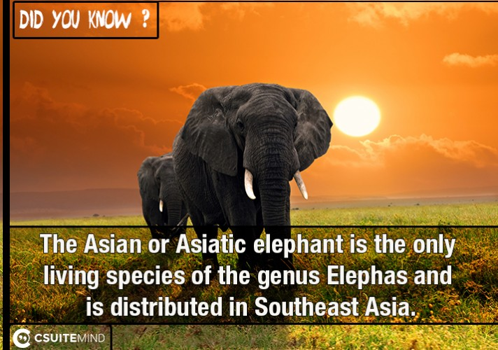 the-asian-or-asiatic-elephant-is-the-only-living-species-of-the-genus-elephas-and-is-distributed-in-southeast-asia