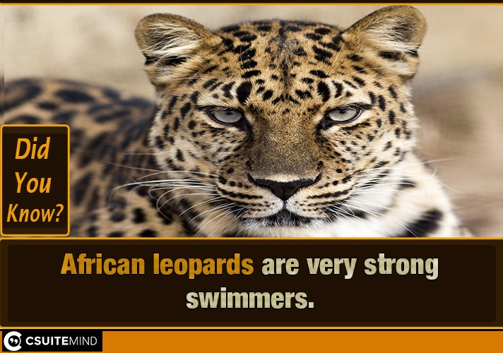 african-leopards-are-very-strong-swimmers