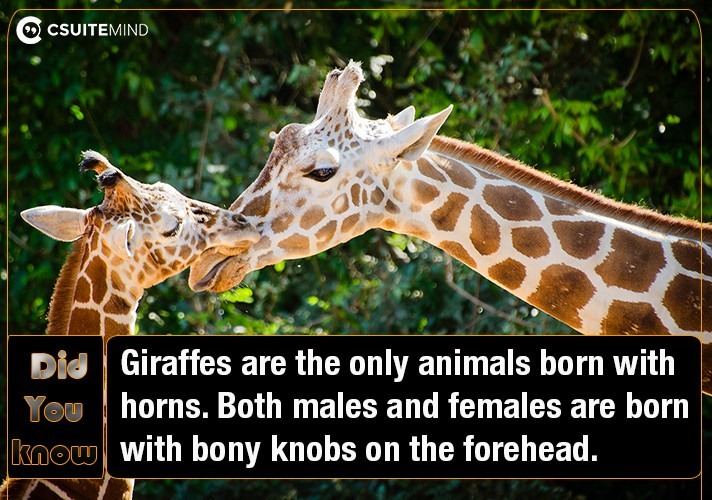 giraffes-are-the-only-animals-born-with-horns-both-males-and-females-are-born-with-bony-knobs-on-the-forehead