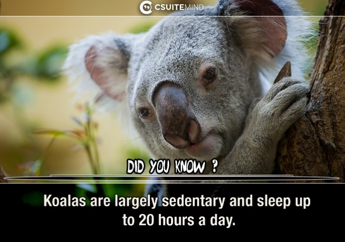 koalas-are-largely-sedentary-and-sleep-up-to-20-hours-a-day