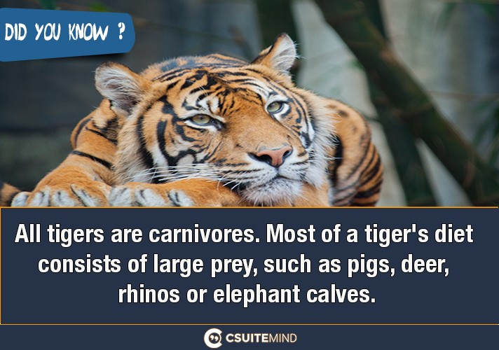 all-tigers-are-carnivores-most-of-a-tigers-diet-consists-of-large-prey-such-as-pigs-deer-rhinos-or-elephant-calves