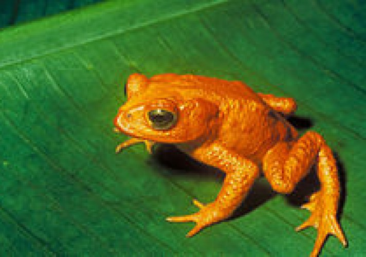 the-golden-toad-was-last-seen-on-may-15-1989-decline-in-amphibian-populations-is-ongoing-worldwide