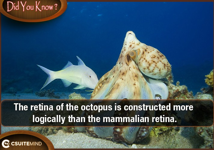 the-retina-of-the-octopus-is-constructed-more-logically-than-the-mammalian-retina