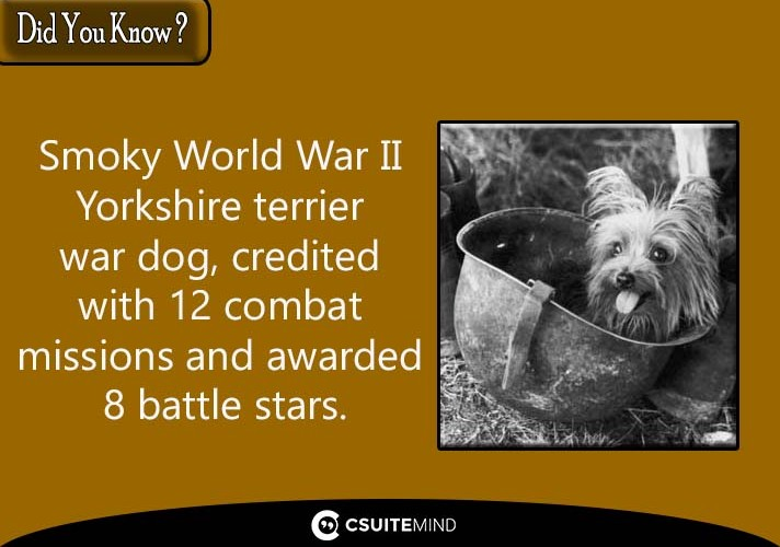 smoky-world-war-ii-yorkshire-terrier-war-dog-credited-with-12-combat-missions-and-awarded-8-battle-stars