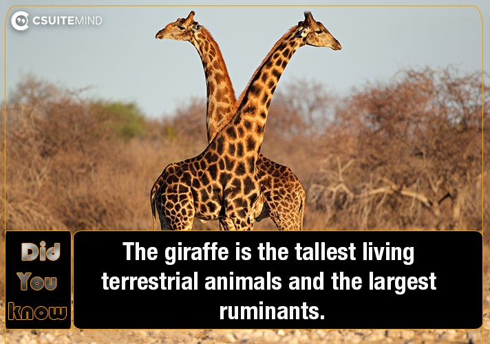 the-giraffe-is-the-tallest-living-terrestrial-animals-and-the-largest-ruminants