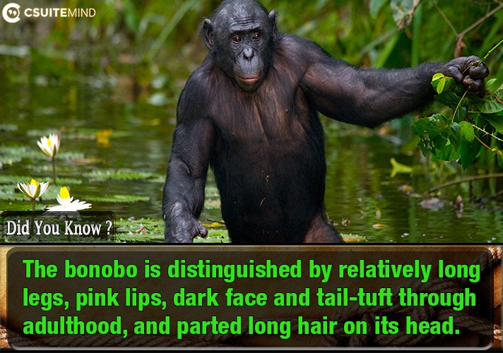 the-bonobo-is-distinguished-by-relatively-long-legs-pink-lips-dark-face-and-tail-tuft-through-adulthood-and-parted-long-hair-on-its-head