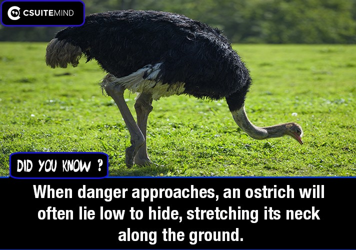 when-danger-approaches-an-ostrich-will-often-lie-low-to-hide-stretching-its-neck-along-the-ground