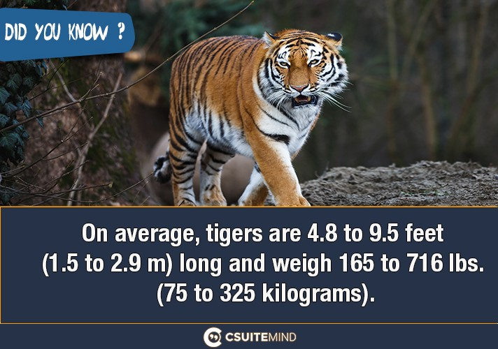on-average-tigers-are-48-to-95-feet-15-to-29-m-long-and-weigh-165-to-716-lbs-75-to-325-kilograms