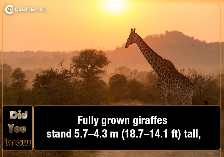 fully-grown-giraffes-stand-4357-m-141187-ft-tall