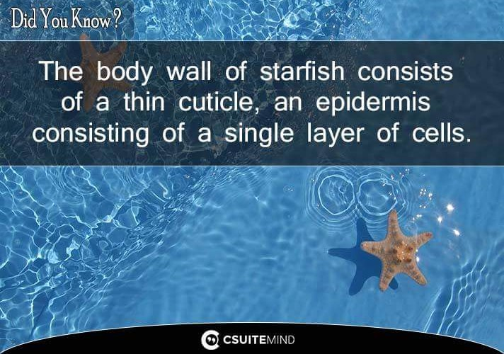 the-body-wall-of-starfish-consists-of-a-thin-cuticle-an-epidermis-consisting-of-a-single-layer-of-cells
