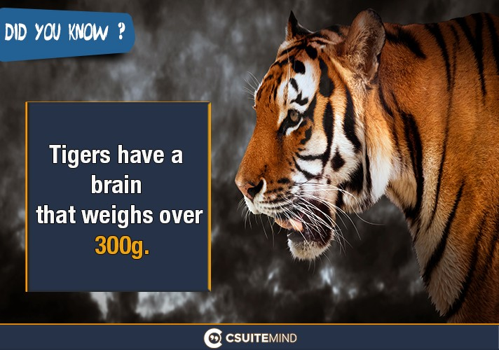 tigers-have-a-brain-that-weighs-over-300g