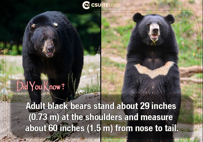 adult-black-bears-stand-about-29-inches-073-m-at-the-shoulders-and-measure-about-60-inches-15-m-from-nose-to-tail