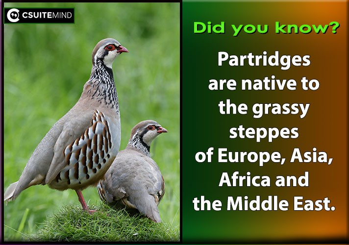 partridges-are-native-to-the-grassy-steppes-of-europe-asia-africa-and-the-middle-east