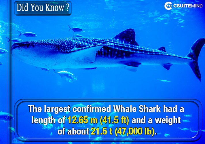 the-largest-confirmed-whale-shark-had-a-length-of-1265-m-415-ft-and-a-weight-of-about-215-t-47000-lb