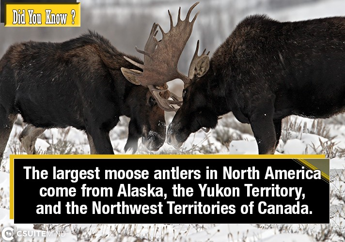 the-largest-moose-antlers-in-north-america-come-from-alaska-the-yukon-territory-and-the-northwest-territories-of-canada