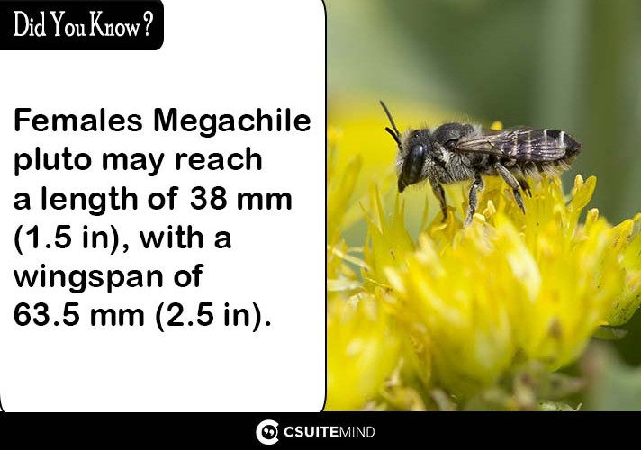 femalesmegachile-pluto-may-reach-a-length-of-38-mm-15-in-with-a-wingspan-of-635-mm-25-in