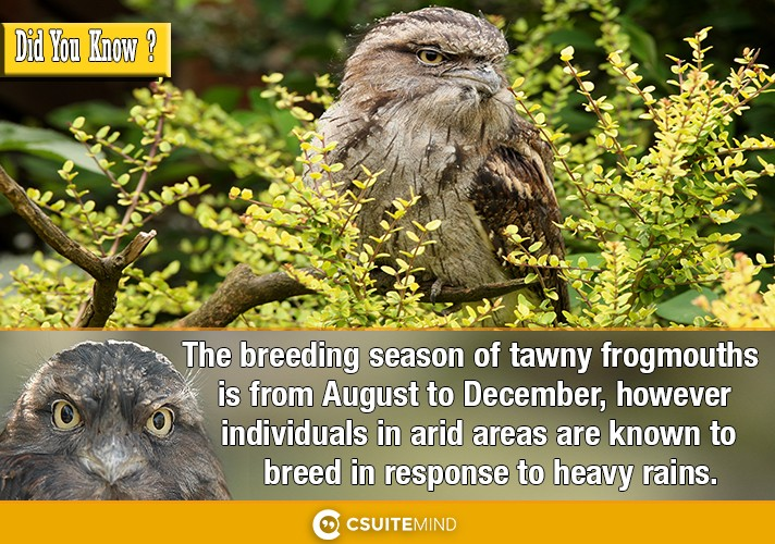 the-breeding-season-of-tawny-frogmouths-is-from-august-to-december-however-individuals-in-arid-areas-are-known-to-breed-in-response-to-heavy-rains