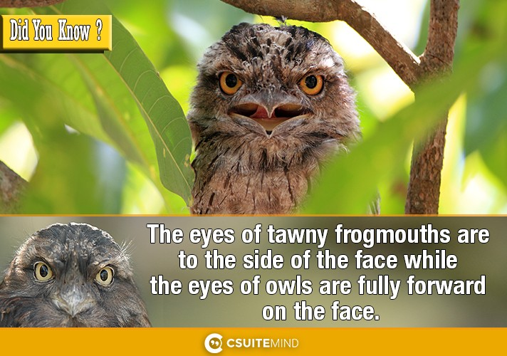 the-eyes-of-tawny-frogmouths-are-to-the-side-of-the-face-while-the-eyes-of-owls-are-fully-forward-on-the-face