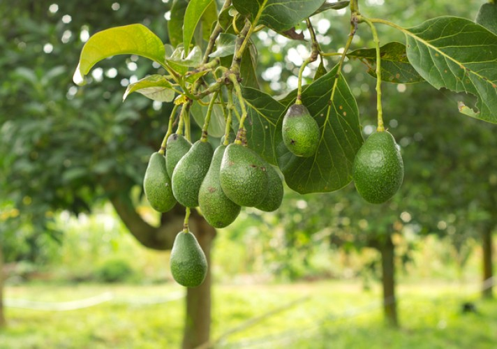avocado-tree-grows-to-20-m-66-ft-with-alternately-arranged-leaves-1225-cm-4798-in-long