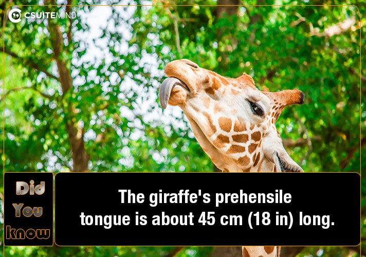 the-giraffes-prehensile-tongue-is-about-45-cm-18-in-long