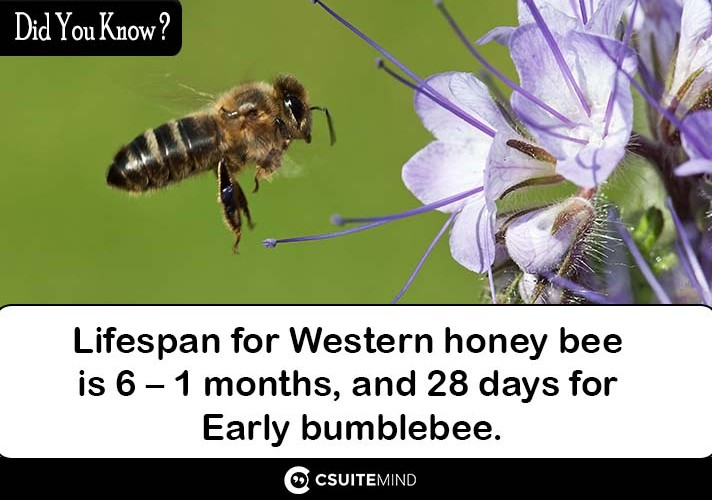 lifespan-for-western-honey-bee-is-1-6-months-and-28-days-for-early-bumblebee