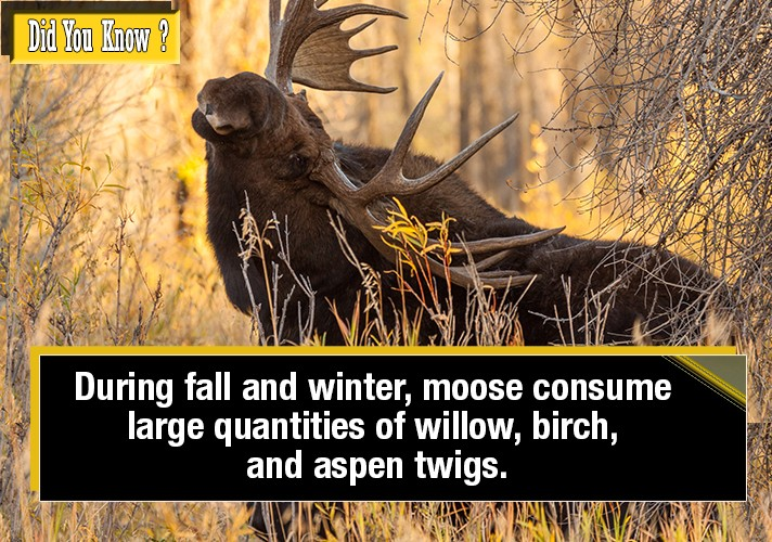 during-fall-and-winter-moose-consume-large-quantities-of-willow-birch-and-aspen-twigs
