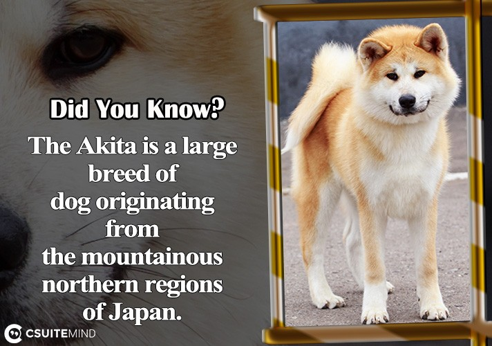the-akita-is-a-large-breed-of-dog-originating-from-the-mountainous-northern-regions-of-japan
