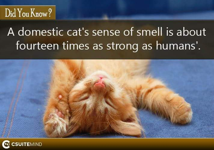 a-domestic-cats-sense-of-smell-is-about-fourteen-times-as-strong-as-humans